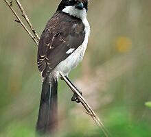 Young Long-tailed fiscal by Paulo van Breugel