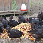 Chickens love apple mash, NY by Christianne White