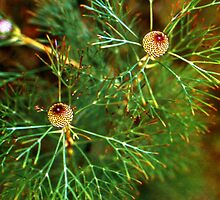 pine cones by JohnHDodds