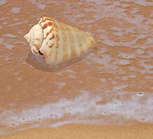 Conus Shell by the Shore by ShellsbyShore