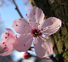 Cherry blossoms by clester