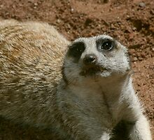 cheeky Meerkat by Sue-Ellen Cordon
