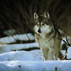 Mexican Grey Wolf by KatsEyePhoto