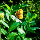 Great Spangled Fritillary 2 by Brooke Winegardner