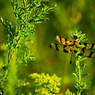 Calico Pennant (female) by Brooke Winegardner