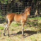 Teddy - English Riding Pony Colt by EdsMum