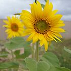 Sunflower by MuscularTeeth