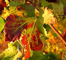Grape Leaves - Tuscany Vineyard, Italy by ljroberts