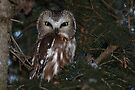 Saw-whet Owl by Jim Cumming