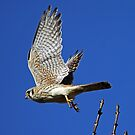 American Kestrel Female in Flight  by Chuck Gardner