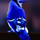 Blue jay 2 by browncardinal8