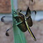 dragonfly day dreams by katpartridge