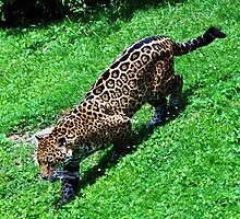 Prowling Jaguar On Hunt by Stephy McBee