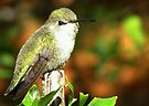 Hummingbird ~ Costa's (Female) by Kimberly Chadwick