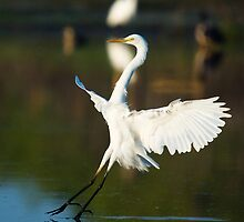 Great Egret, Knuckey Lagoons by Keith McGuinness