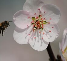 Bee in Flight with Almond Blossom by Heather Samsa