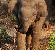 Baby elephant eating while alert by GarethWilton