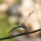 Dragonfly by RobertSander