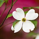 White Flowering Dogwood Blossom by Oscar Gutierrez