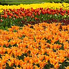 Colorful Tulip Garden by Oscar Gutierrez