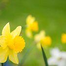 Yellow Daffodils by Oscar Gutierrez