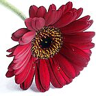 Red Gerbera by OpalFire