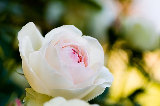 Pale Pink English Rose by Oscar Gutierrez