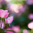 Pink Rose Bush by Oscar Gutierrez