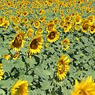 Lost in Yellow ~ Sun Flowers Salute by pequot99