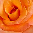 Rose Petal Layers by onyonet photo studios