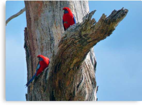 Rosellas by jainiemac