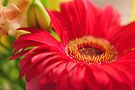 Red Gerbera, As Is by Kim McClain Gregal
