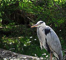 Grey Herron by MacsfieldImages