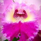 Bi-Color Cattleya Orchid by Oscar Gutierrez