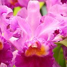 Pink Cattleya Orchids by Oscar Gutierrez