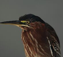 Green Heron by kathy s gillentine