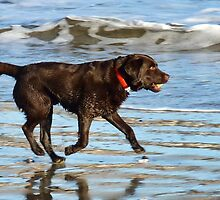 Happy Chocolate Lab  by lynn carter