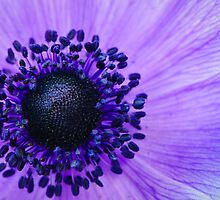 Purple Anemone Poppy by Oscar Gutierrez