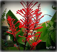 FIRECRACKER FLOWER by Claire Moreau