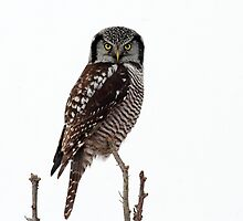 Northern Hawk Owl by Bill McMullen