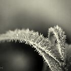 Black Frost by Annie Lemay  Photography