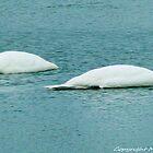 #346 Two Swans Ducking by MyInnereyeMike