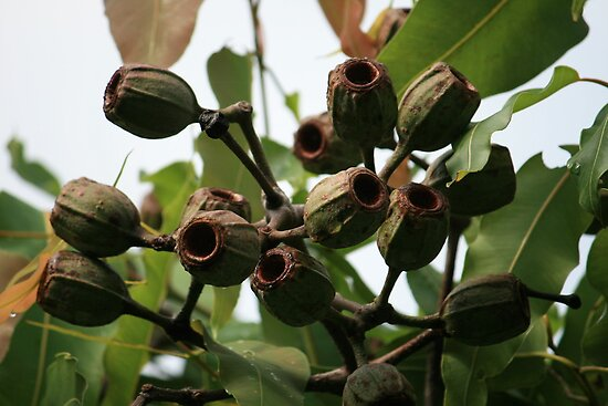 Gum Nuts After Flowering in Early Summer by aussiebushstick