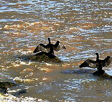 Cormorants drying their wings in Boulogne, France by buttonpresser