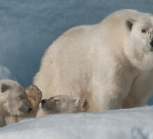 Polar Bear Mom With Cubs by Karen Nelson