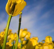 Tulip In The Wind by Bill Maynard