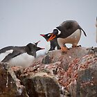 Gentoo penguin disagreement - Antarctica by mcreighton