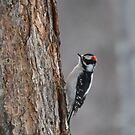 Downy Woodpecker in January by amontanaview