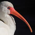 White Ibis Portrait by naturalnomad