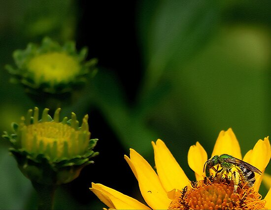 The Green Hornet! by dan p